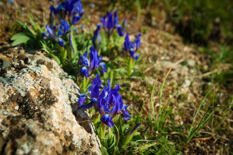 Wild iris, Iris aphylla subsp. hungarica growing in forest royalty free stock photo