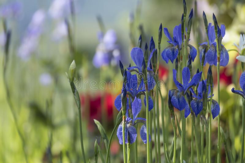 Wild Irises in an Oregon Garden. A patch of wild irises stands erect among other flowers in an Oregon garden royalty free stock images