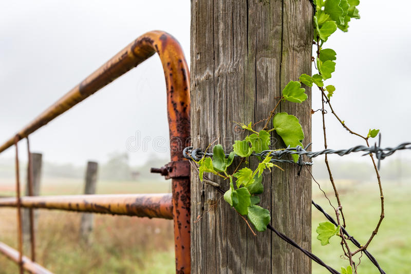 Wild ivy on barbed wire fense post. View of ivy on barbed wire along fense post with rusty gate in the background. cloudy rainy day stock photography