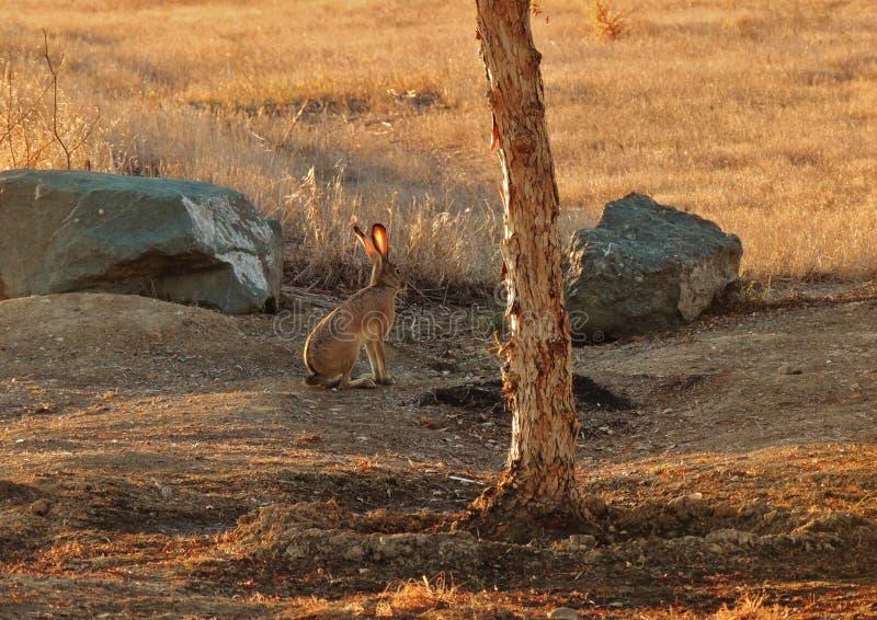 Wild Jack Rabbit royalty-vrije stock afbeelding