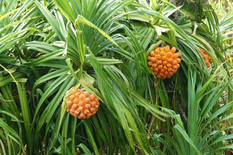 Download Wild Jackfruit Stock Photo - Image: 39517082