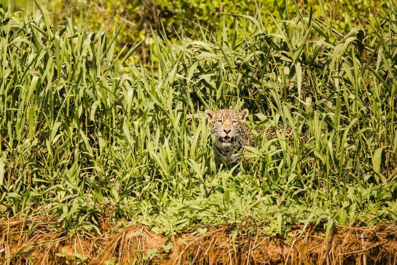 Wild Jaguar Peeking Through Grasses on Riverbank. A wild Jaguar in the Pantanal, Brazil, panting while pausing to peek through high grasses and reeds at the top royalty free stock photography
