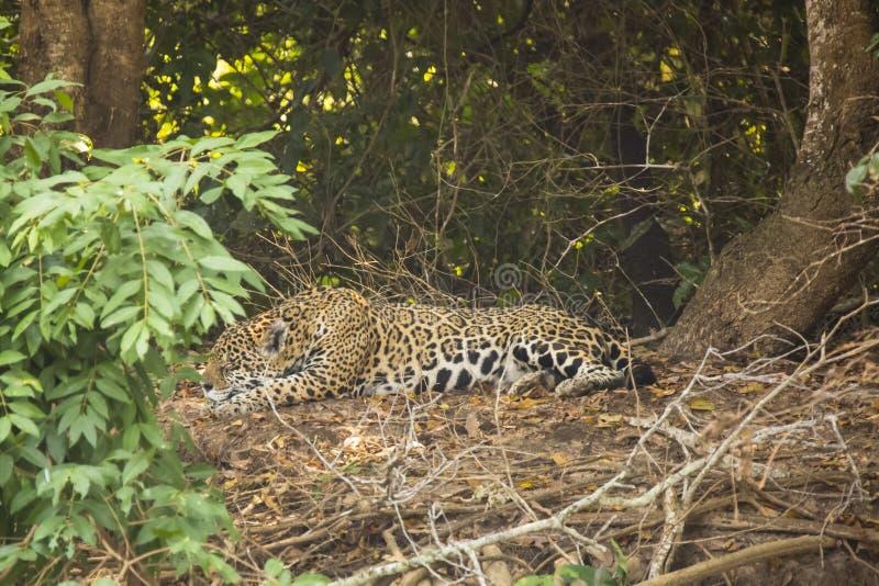 Download Wild Jaguar Sleeping Along Jungle Floor Stock Photo   Image:  49358130