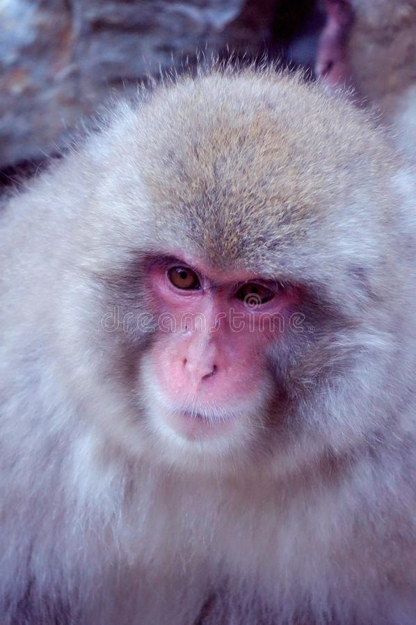Wild Japanese Macaque - Snow Monkeys. Wild Snow Monkey Park (Jigokudani Yaen-koen) - The only place in the world where monkeys bathe in hot springs royalty free stock photography