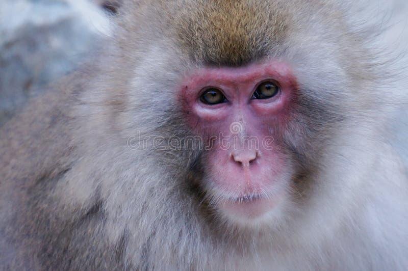 Wild Japanese Macaque - Snow Monkeys. Wild Snow Monkey Park (Jigokudani Yaen-koen) - The only place in the world where monkeys bathe in hot springs stock images