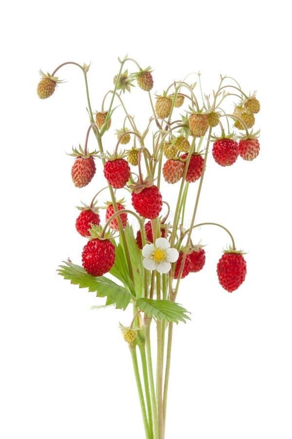 wild jordgubbe royaltyfria foton