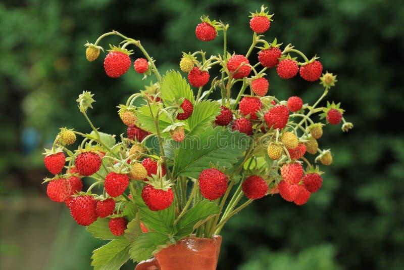 wild jordgubbe fotografering för bildbyråer
