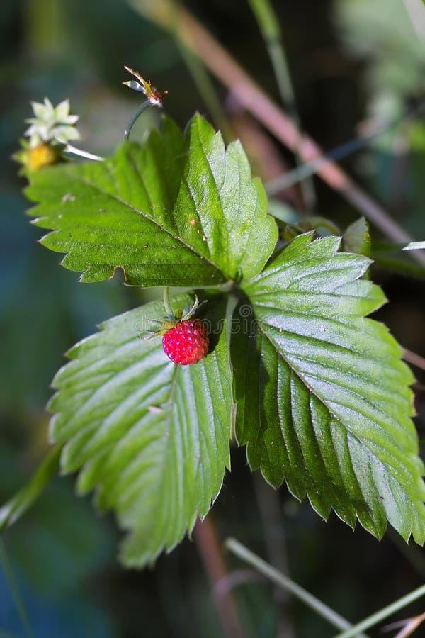 wild jordgubbe royaltyfria bilder