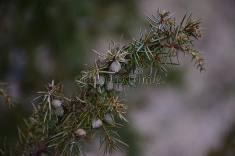 Wild juniper with different colored berries royalty free stock images