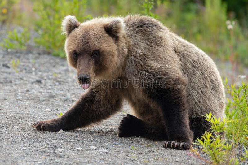 Wild Kamchatka brown bear with his tongue sticking out and looking stock photography