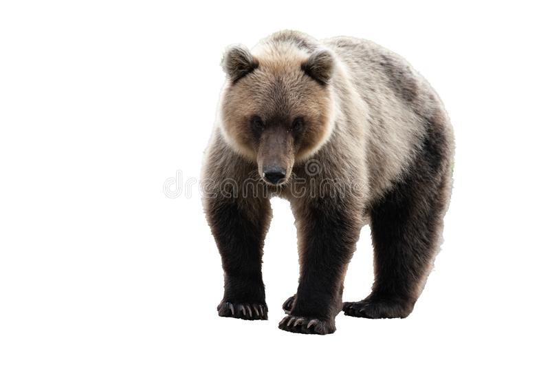 Wild Kamchatka brown bear. Isolated on white background, copy space stock photography