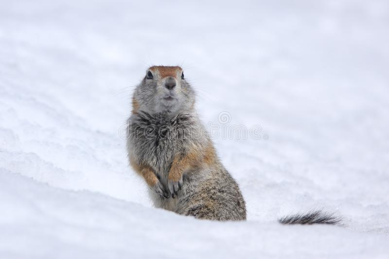 Ground squirrel, russia, Kamchatka Peninsula royalty free stock photo