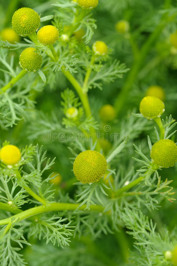 Wild Kamille (Pineappleweed) Close-up royalty-vrije stock foto's