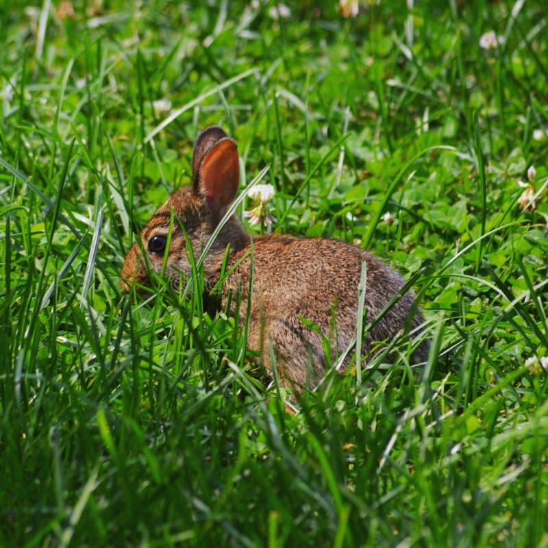 wild kanin royaltyfri bild