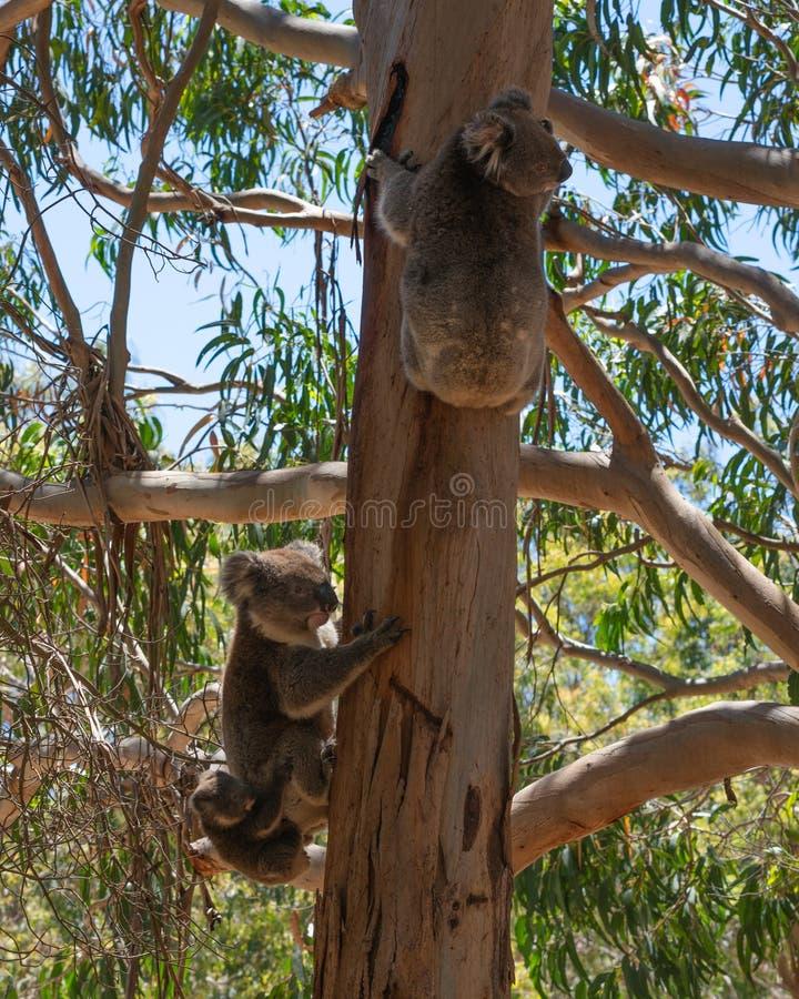 Wild Koala family with the male female and baby Koalas on an Eucalyptus tree on Kangaroo Island in Australia. Wild Koala family with the male female and baby stock image