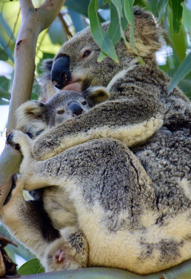 A wild koala cuddling her joey on Redlands Coast in South East Queensland, Australia stock photos