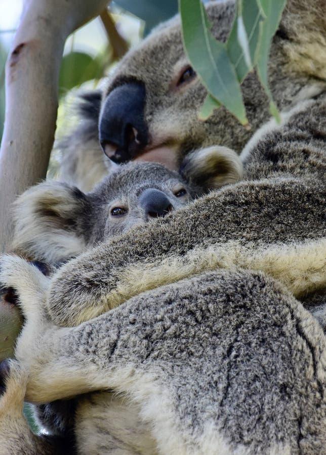 A wild koala cuddling her joey on Redlands Coast in South East Queensland, Australia stock photography