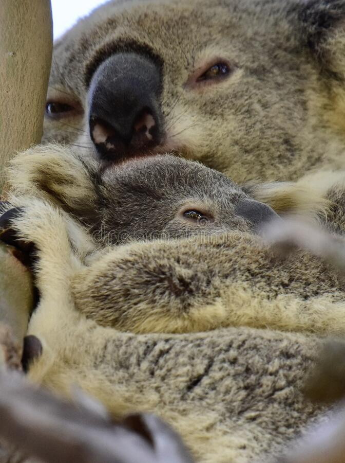 Close up of wild koala cuddling her joey on Redlands Coast in South East Queensland, Australia royalty free stock images