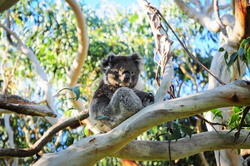 Wild Koala royalty free stock photography