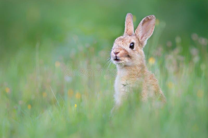 Wild konijn royalty-vrije stock foto's