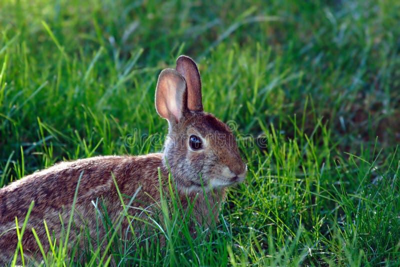 Wild konijn in het gras royalty-vrije stock fotografie