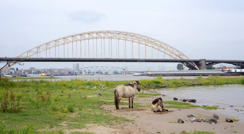 Horses near the Waalbrug bridge, Nijmegen, the Netherlands. Wild Konik horses neaar the Waalbrug bridge, Waal river and the city of Nijmegen in the Netherlands royalty free stock image