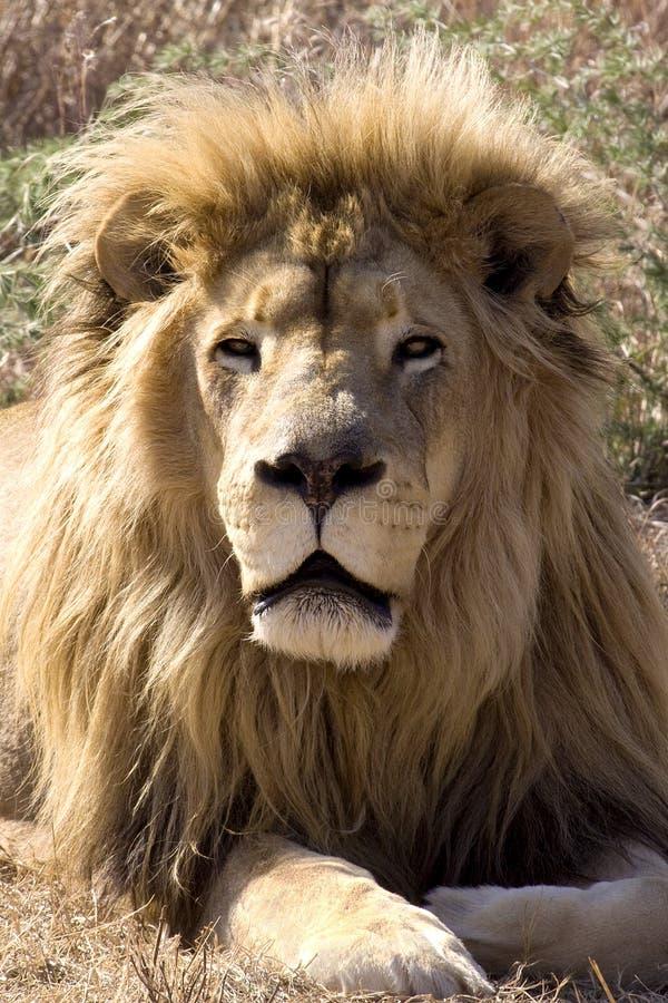 wild konung ii arkivfoto