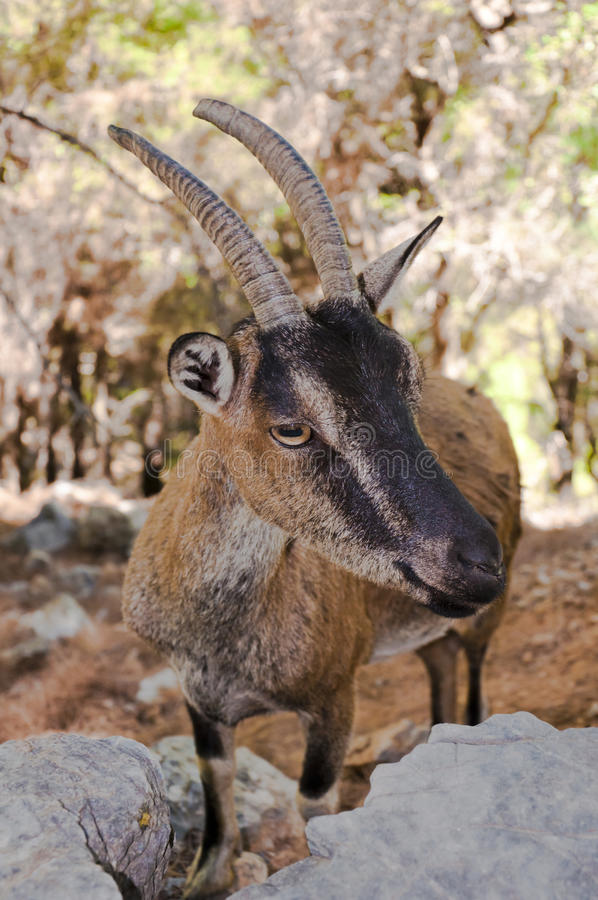 Wild kri-kri goat in Samaria Gorge, Crete, Greece. stock images