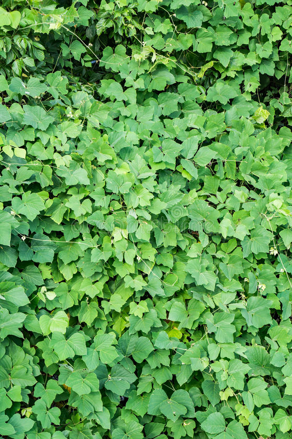 Wild Kudzu – Pueraria lobate royalty free stock photography