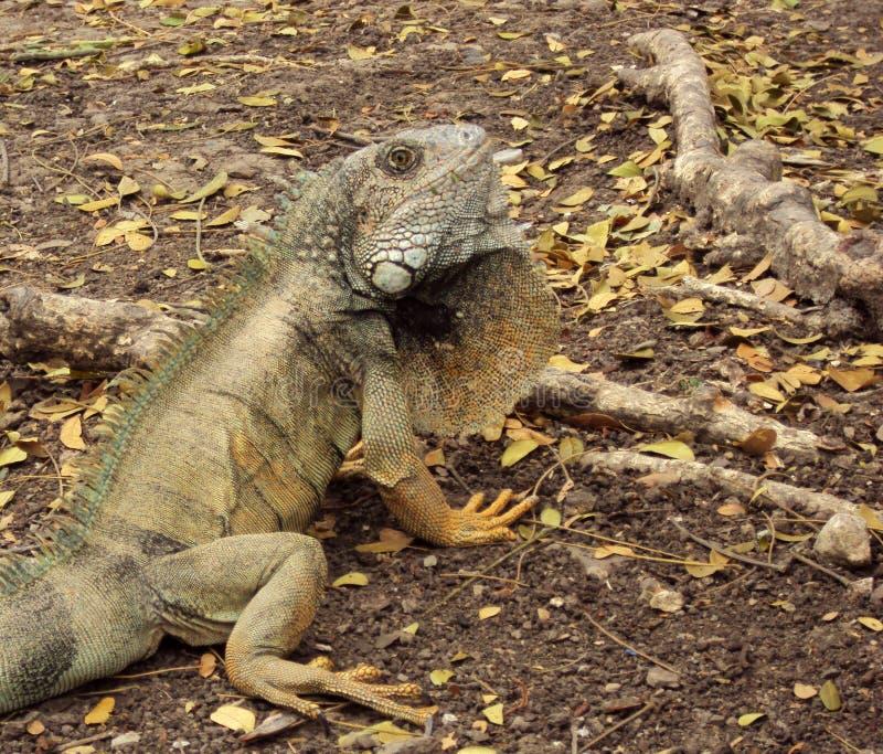 Wild land Iguana in Ecuador royalty free stock image