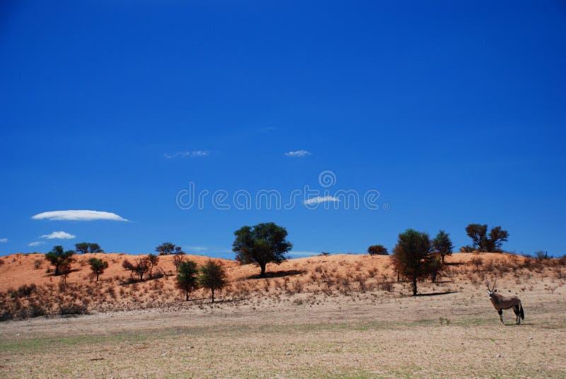 Wild landschap Kgalagadi Grensoverschrijdend Park Noordelijke Kaap, Zuid-Afrika royalty-vrije stock afbeelding