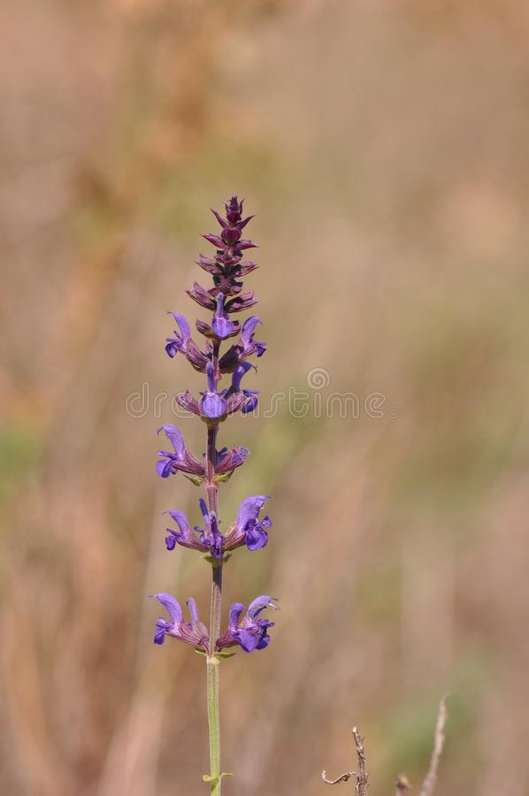 Wild lavender. Lavender in a herbal garden royalty free stock photos
