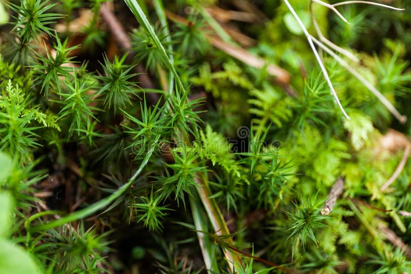 Wild lawn in forest, weed area. Turf texture background.  royalty free stock image