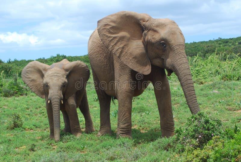 Wild lebende Tiere in Afrika stockbilder