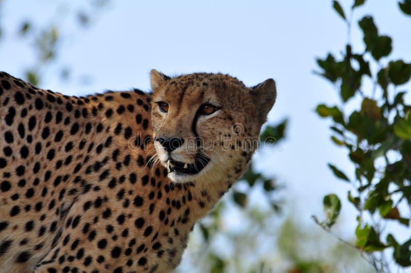 Wild lebende Tiere in Afrika: Gepard stockfotografie
