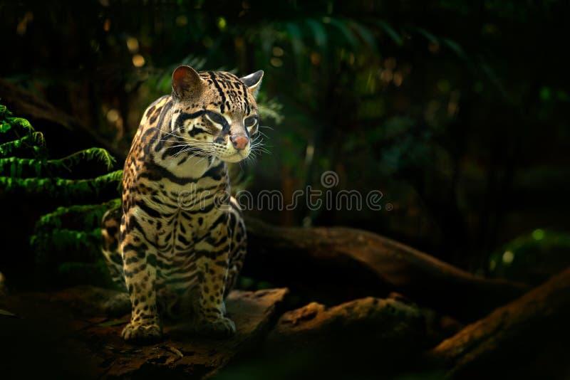 Wild lebende Tiere in Costa Rica Margay Sitzen der netten Katze auf der Niederlassung im costarican tropischen Walddetailporträt  stockbilder