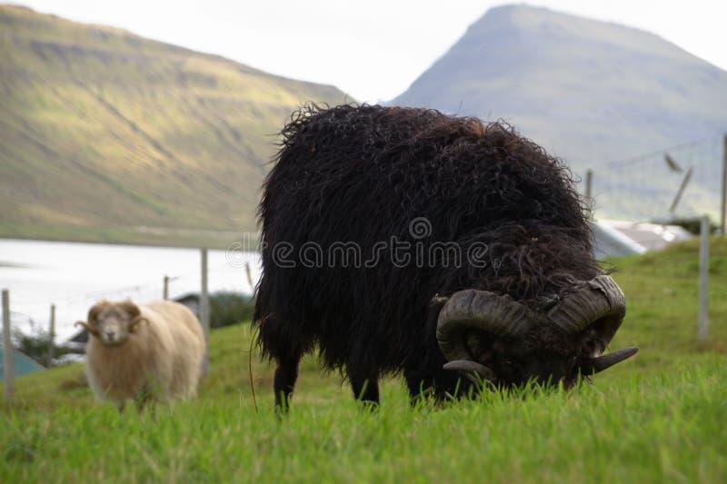 Wild lebende Tiere in den Färöern im Nord-Atlantik stockfotografie