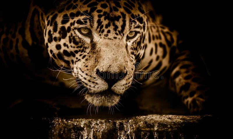 Wild lebende Tiere, Jaguar, Leopard, S?ugetier stockfotografie