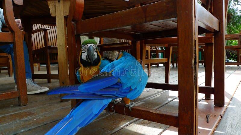 Wild lebende Tiere, Keilschwanzsittich, bunte tropische Farben, stockfoto