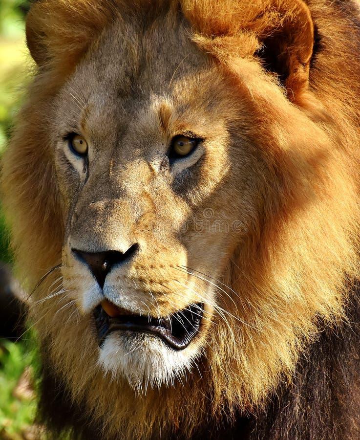 Wild lebende Tiere, L?we, terrestrisches Tier, S?ugetier