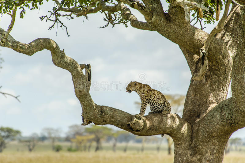 Wild lebende Tiere - Leopard stockfoto
