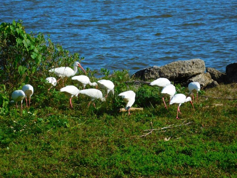 Wild lebende Tiere Melbournes, Florida lizenzfreies stockfoto