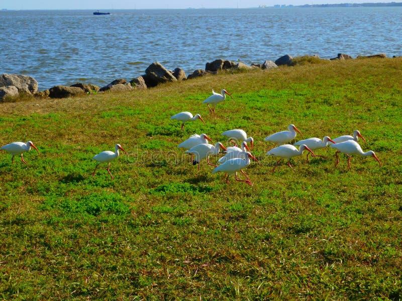 Wild lebende Tiere Melbournes, Florida lizenzfreies stockbild