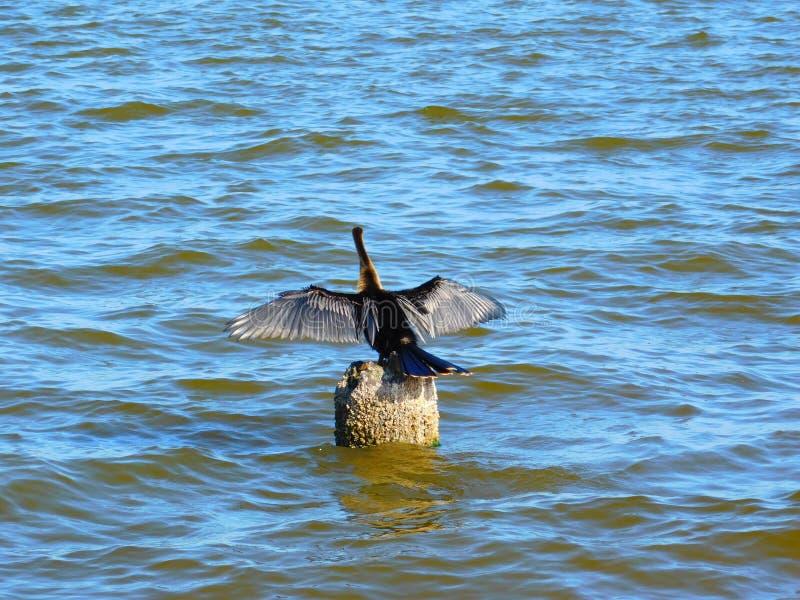 Wild lebende Tiere Melbournes, Florida stockbilder