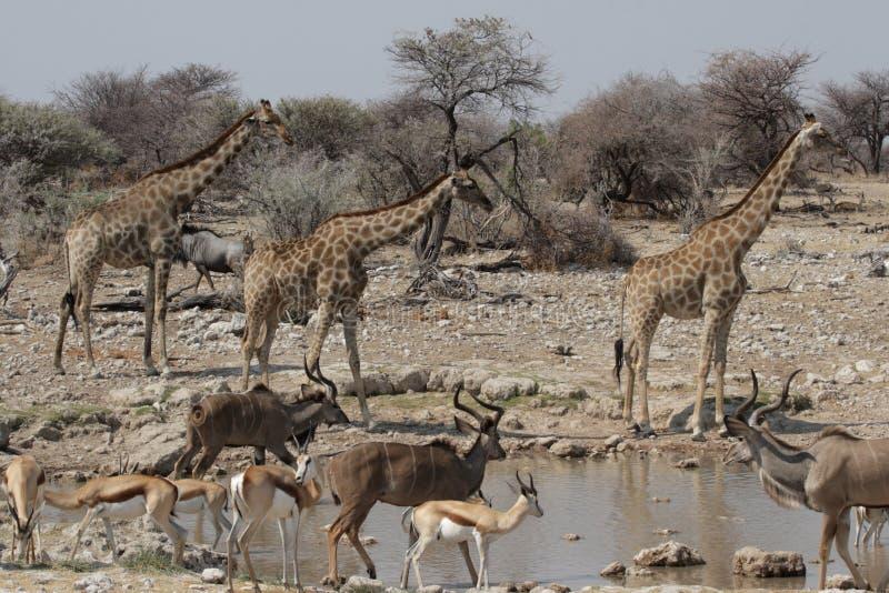 Wild lebende Tiere am waterhole stockfotografie