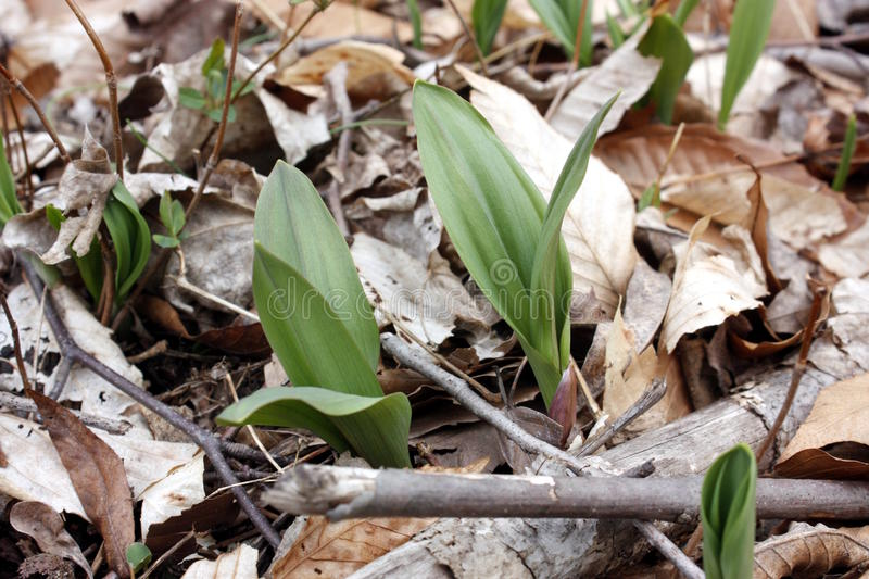 Wild Leek (Ramps) royalty free stock photography
