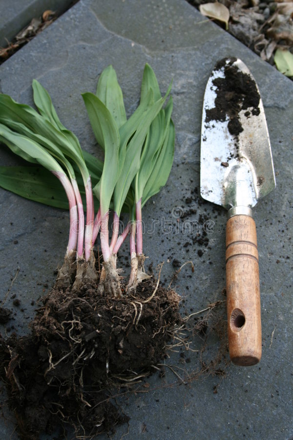 Wild Leeks or Ramps. Wild leeks, also known as ramps. Freshly dug, with a small gardening shovel to show size stock images