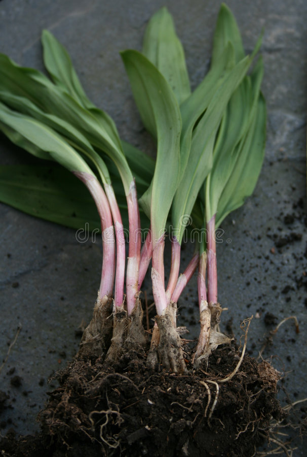 Wild Leeks or Ramps. Wild leeks, also known as ramps. Freshly dug, showing roots still in dirt stock images