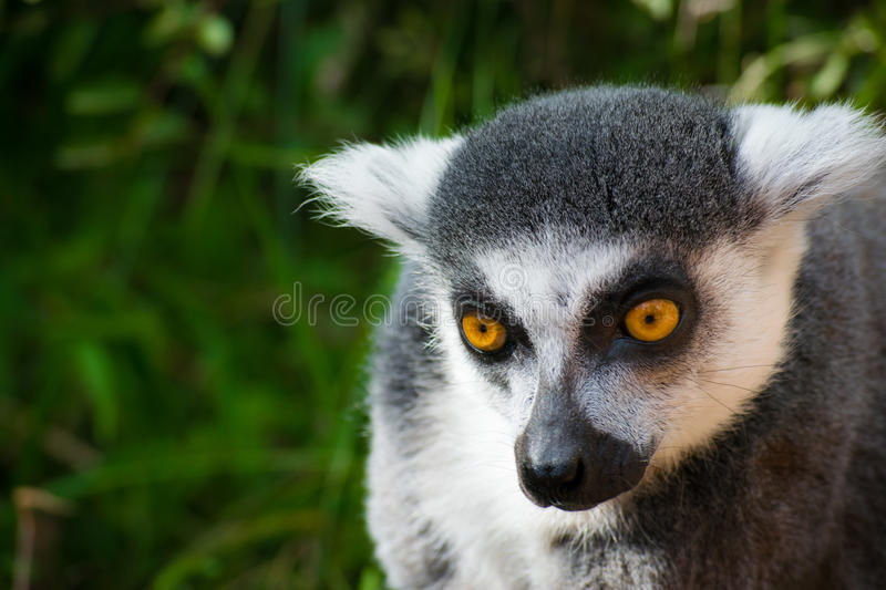 Wild lemur that is curious stock photo