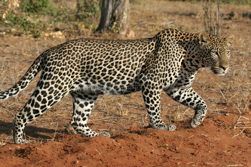 Wild Leopard stock photo